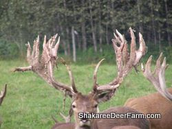 Red Deer Sires