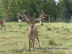 Red Deer Sires from Shakaree Red Deer Farm