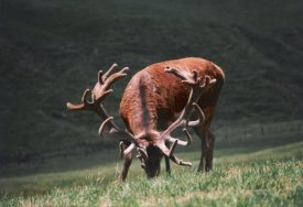 Award Winning Red Deer
