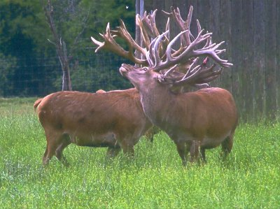 The Finest Red Deer Stock In North America